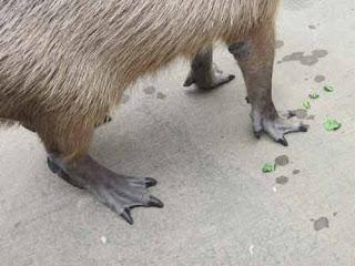 Capybara's Webbed Feet.