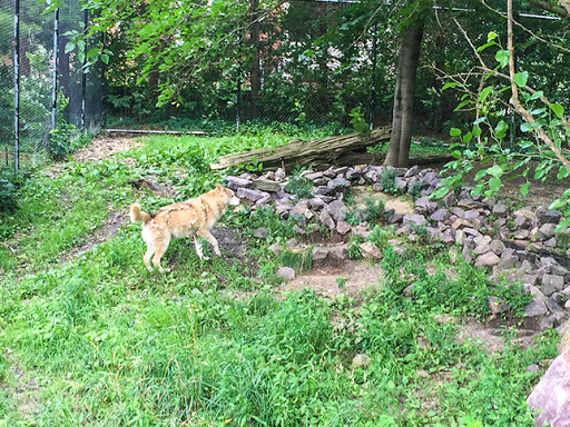 Wolves White at Ochsner Park Zoo in Baraboo WI