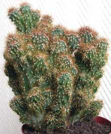 Cactus pequeños monstruoso monster