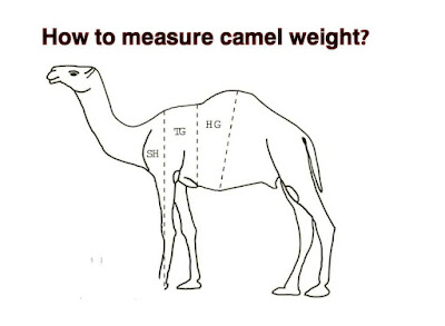 How to measure camel weight