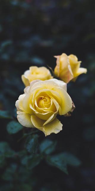 Nét đẹp hồn nhiên của hoa hồng vàng