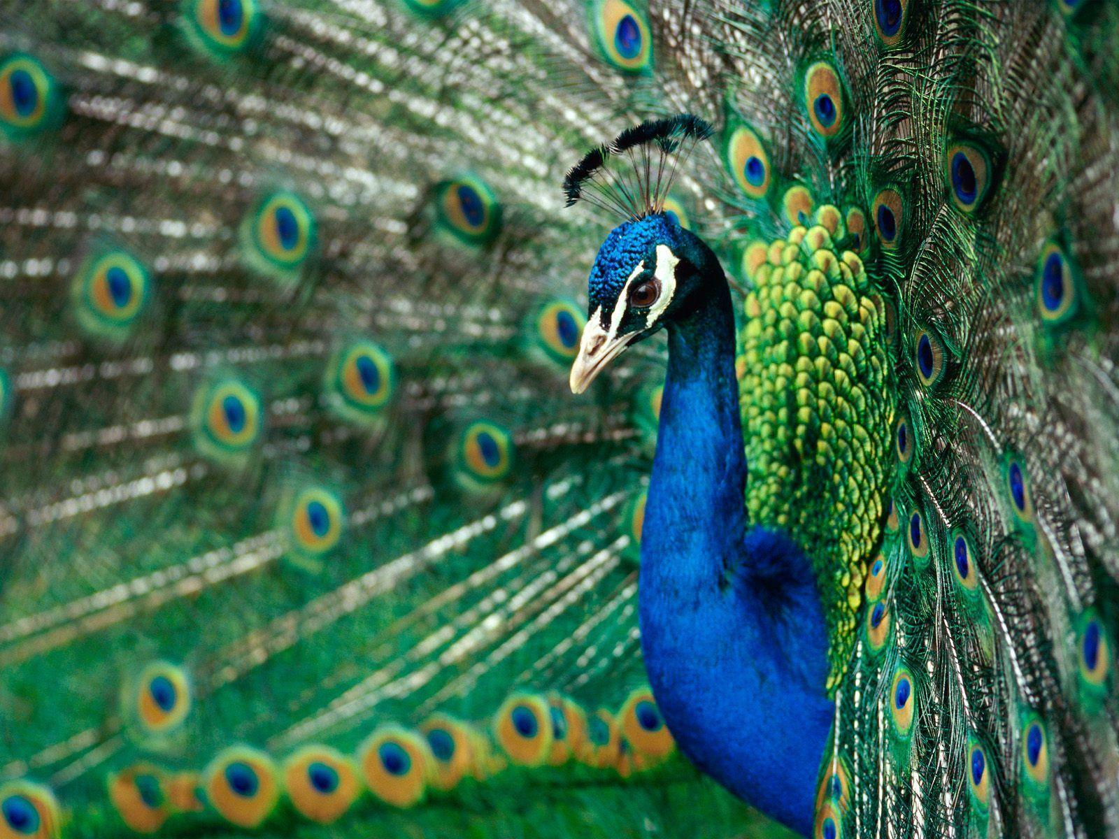 Free Download Wallpaper HD : Peacock Most Beautiful Bird