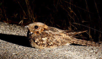 nightjar world
