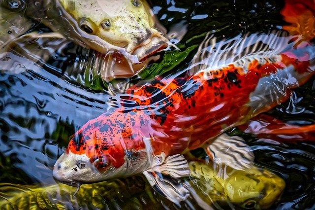 Cara Mengatasi Stres Ikan Koi