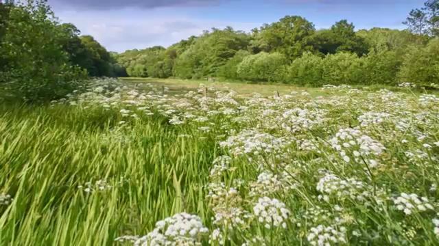 Most Poisonous Plants, Water Hemlock