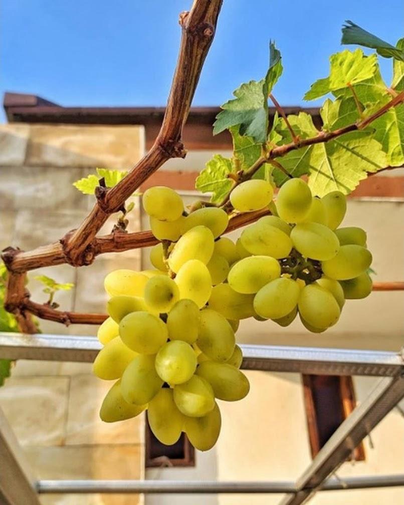 Bibit anggur transfiguration VALID Sulawesi Tengah