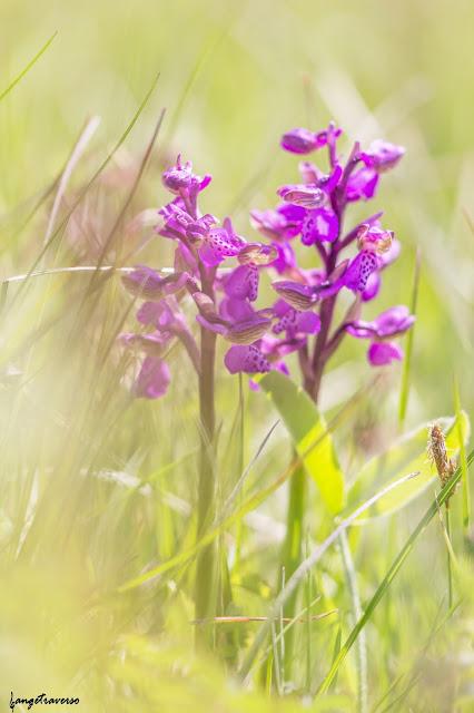 flore des alpes, flowers, orchis bouffon, orchidée, fleurs des alpes, fleur, nature