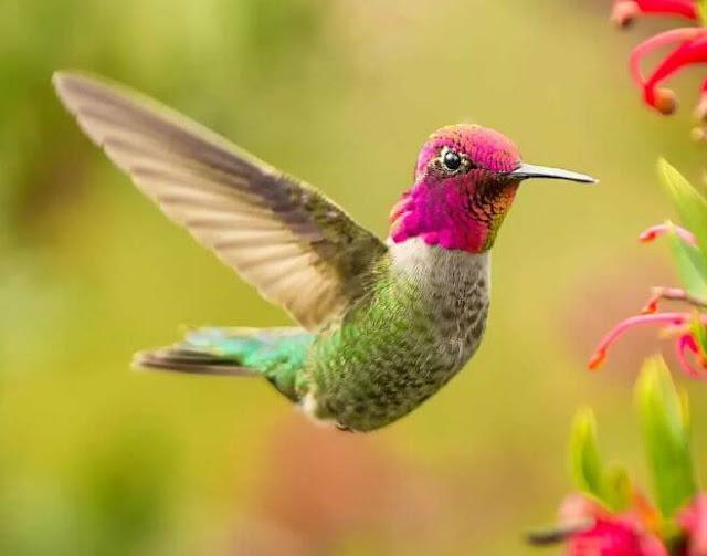 الطائر الوحيد الذي يستطيع أن يطير للخلف