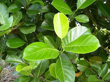 Manfaat daun nangka