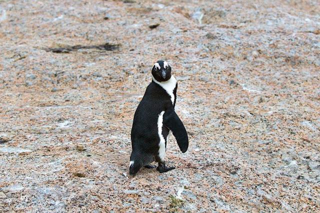 Pingüino girándose en Boulders Beach, Península del Cabo, Sudáfrica