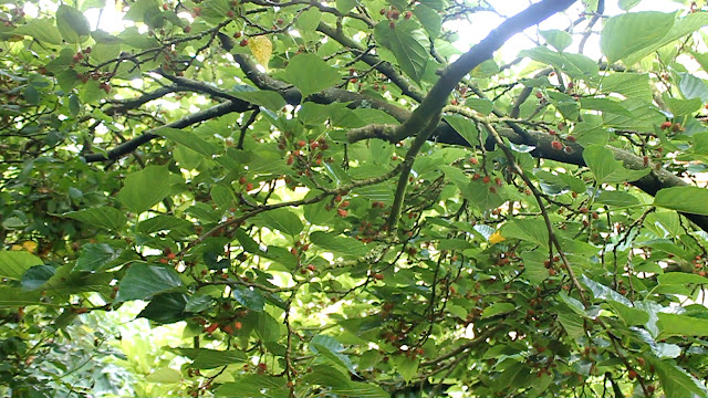 Forest Garden - Mulberry tree