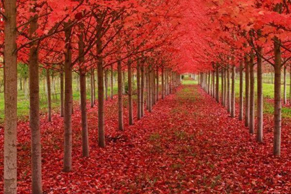 أشجار القيقب في ولاية أوريغون الامريكية