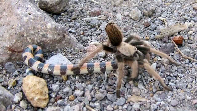 tarantula mangsa ular