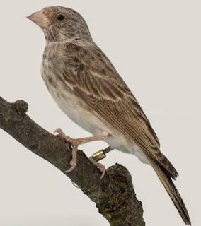 Tips Dan Cara Agar Burung Sanger Gacor Paling Akurat