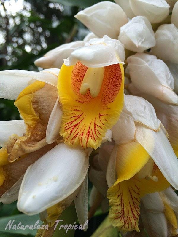 Flor de la planta Alpinia zerumbet