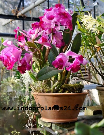 Cattleya spp Orchidaceae CATTLEYA plant