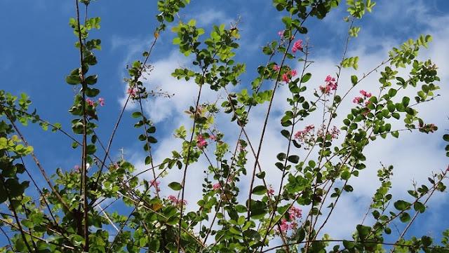 サルスベリの花と空