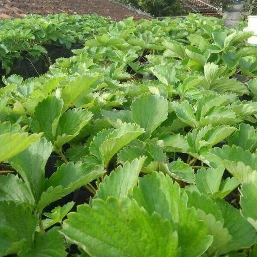 Bibit Tanaman Buah Strawberry California Kondisi Beranak Berstolon Kendari