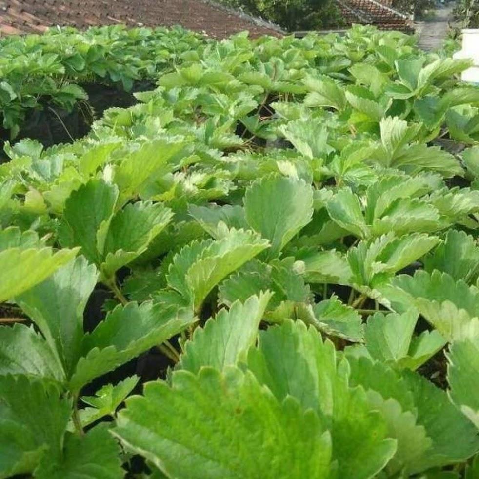Bibit Tanaman Buah Strawberry California Kondisi Beranak Berstolon Sumatra Utara
