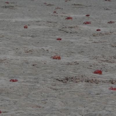 Red Crabs in Talasari Beach