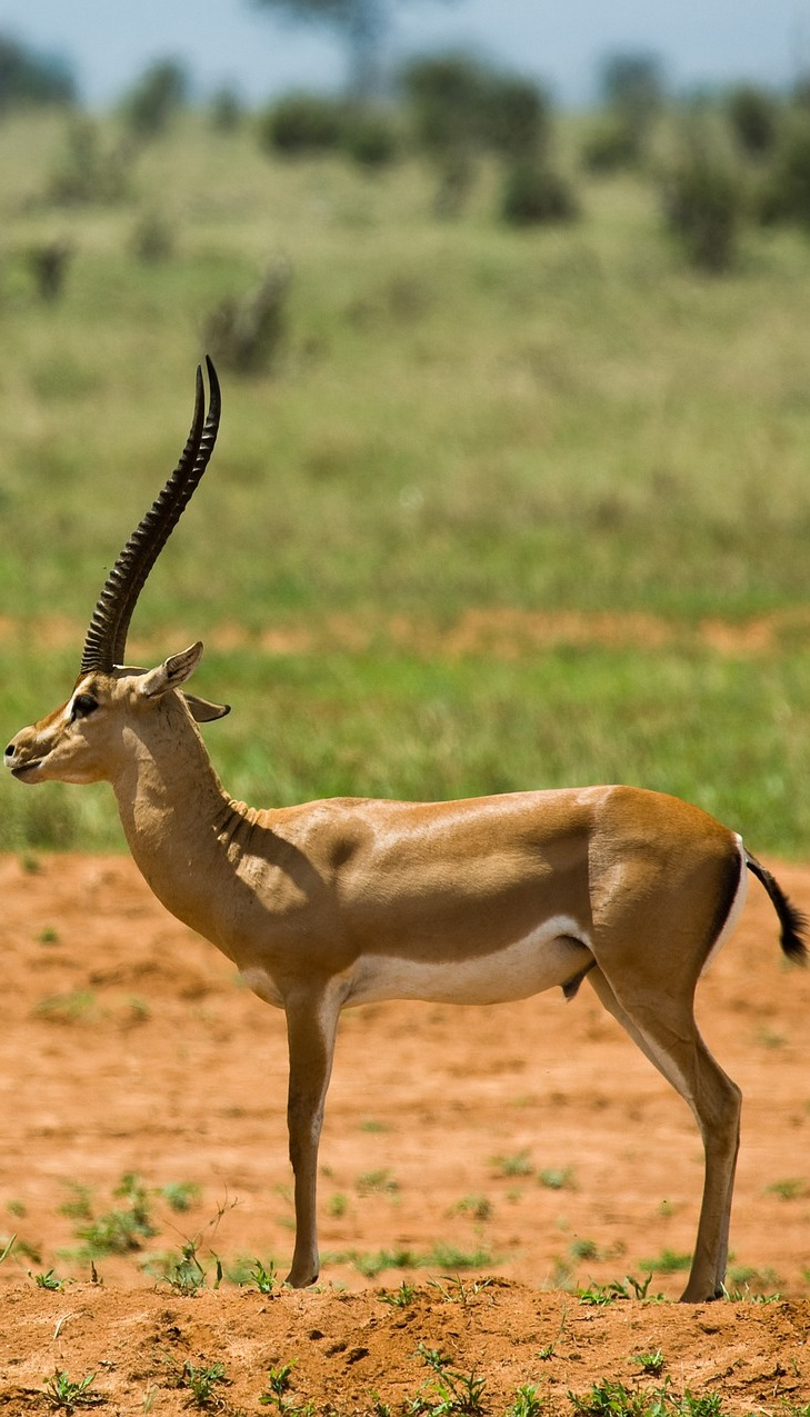 Picture of an antelope.