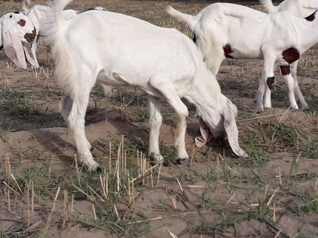 online buy small bakra in Pakistan