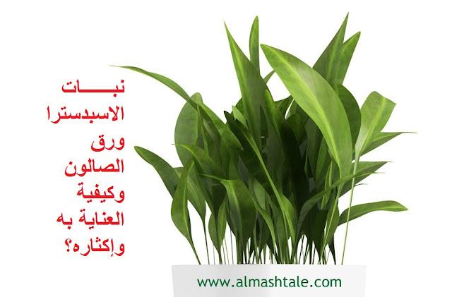 نبات الاسبدسترا أو ورق الصالون