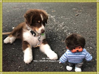 kiki monchhichi chiot berger australien chien