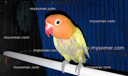 https://www.mysomer.com/2020/04/ciri-ciri-lovebird-jantan-bahan-konslet.html