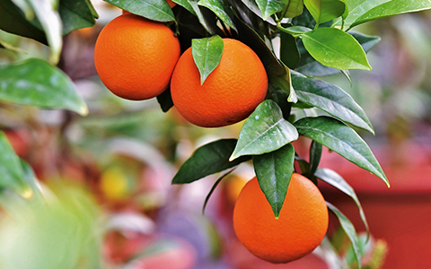 Grow and harvest fruit trees in your home