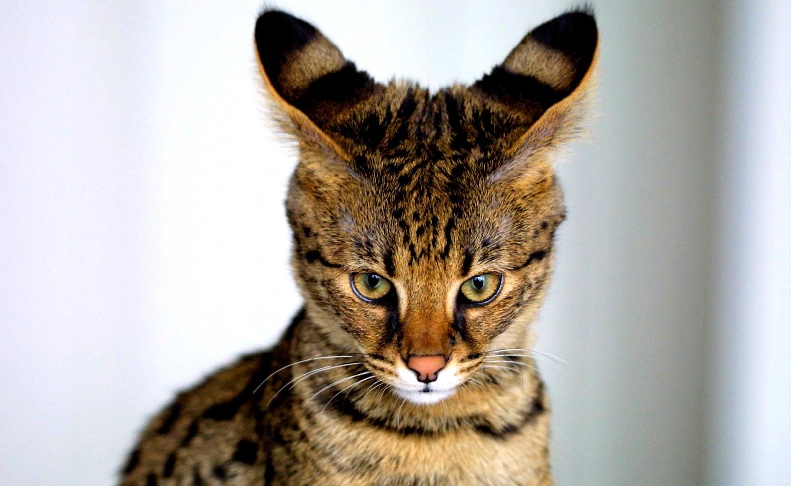 Gambar Kucing Imut Dan Lucu Kumpulan Gambar