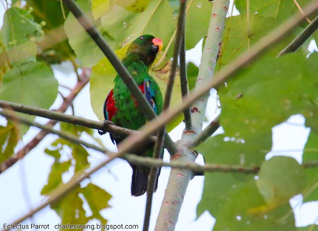 birding in Waigeo island of Indonesia