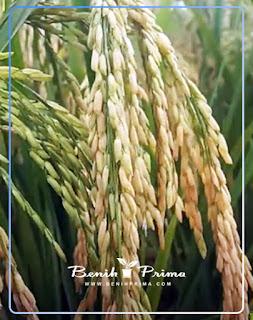 Benih Prima, benih berkualitas, benih padi galur, benih padi unggul, benih padi sigupai
