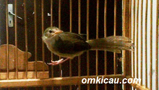 Burung Ciblek - Tips Memilih Burung Ciblek Gunung Bakalan Yang Bagus- Penangkaran Burung Ciblek