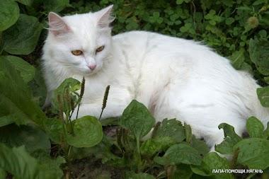 Кошка Белка. Роскошная белоснежная красавица в ожидании любящих хозяев