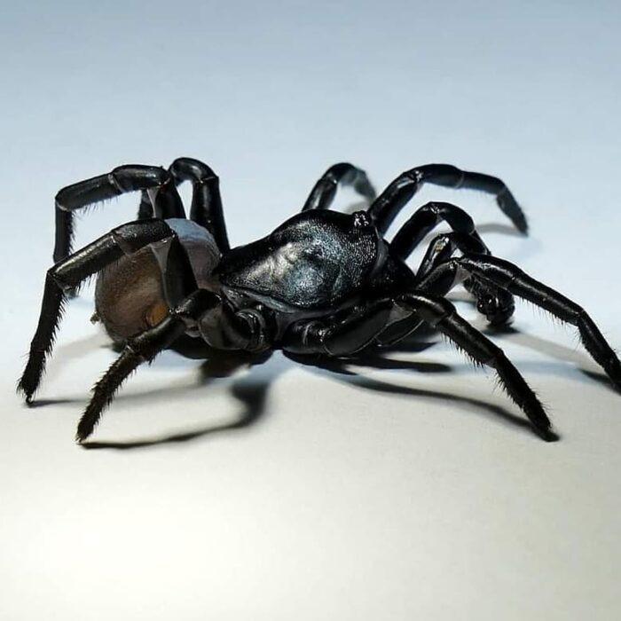Descubren una nueva especie de araña venenosa que puede vivir por décadas