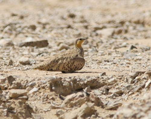 Indian birds - Photo of Spotted sandgrouse - Pterocles senegallus