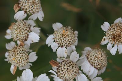 Achillea ptarmica – Sneezewort