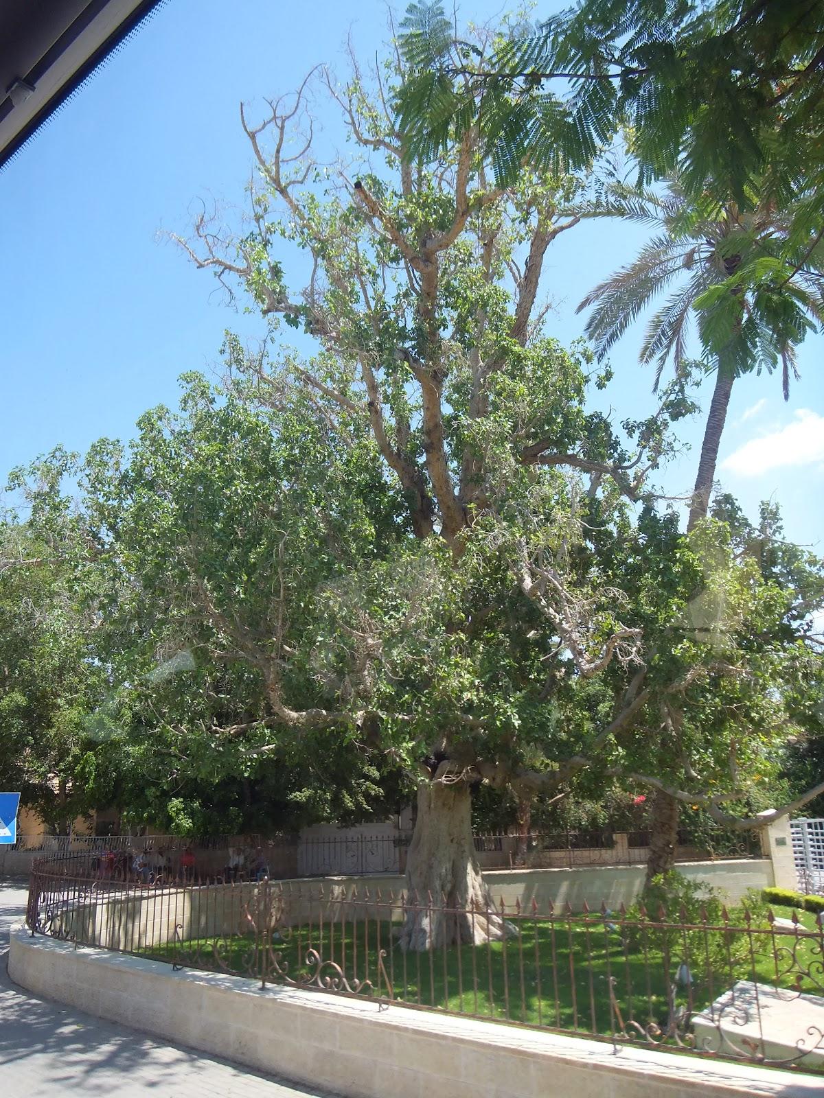 sycamore fig tree jericho