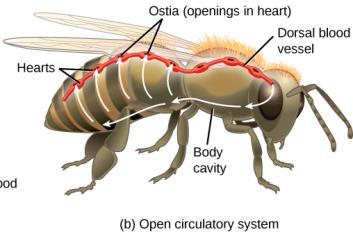 Gambar  . Sistem Peredaran darah terbuka pada serangga