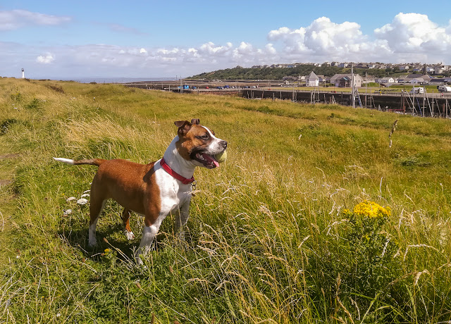 Photo of Ruby with her ball on a grassy area near the marina