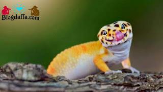 Leopard Gecko jenis kadal unik Peliharaan