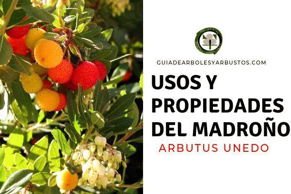 El madroño, Arbutus unedo, conoce las propiedades y usos de este arbusto