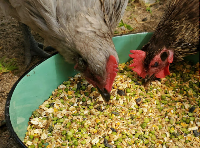 chickens eating grains and seeds
