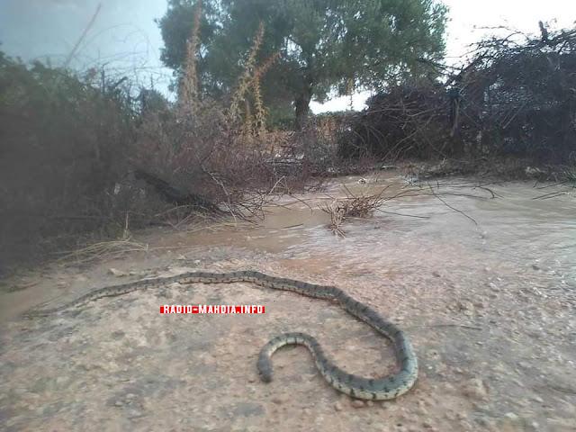 عقب الأمطار الغزيرة .. ظهور ثعبان ضخم في معتمدية ملولش من ولاية المهدية !