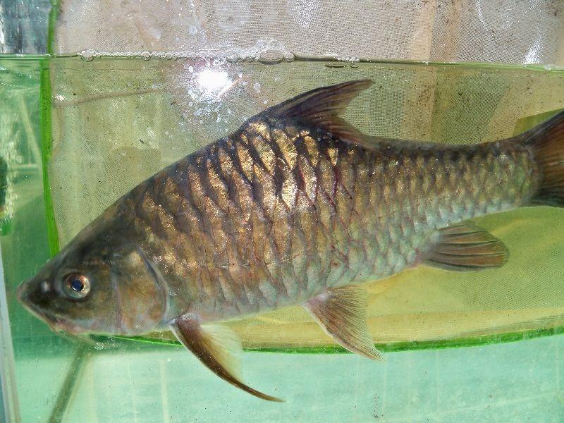 Gambar Ikan Semah