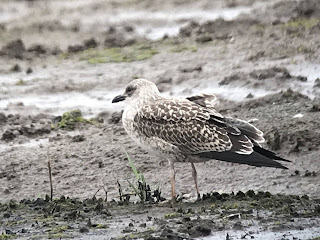 Juvenile Yellow-Legged Gull, Lytchett Fields yesterday © Nick Whitehouse.