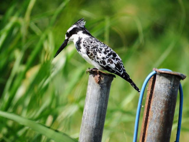 Pied kingfisher on the Kazinga Channel in Uganda