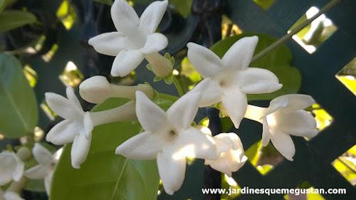 Jazmín de Madagascar (Stephanotis floribunda)