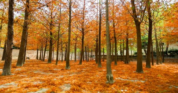 台中新的霧峰落羽松秘境,萬豐社區落羽松森林,落葉形成美美地毯